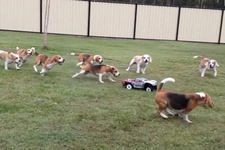 「待て待て~!」ビーグルの群れがラジコンカーを猛追! 広大な庭を所せましとひたすら走る!