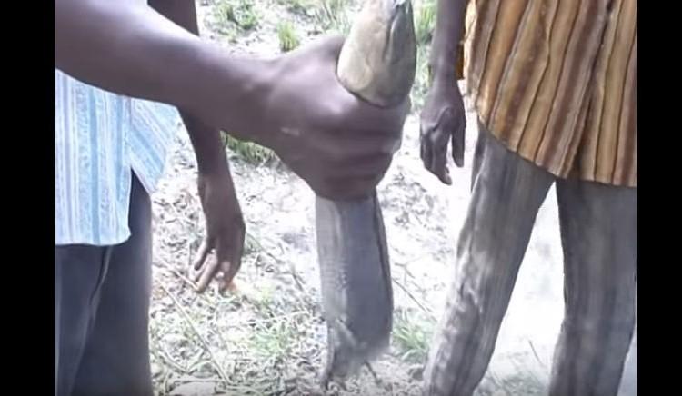 魚を捕まえるために土を掘る!?夏眠中のハイギョの捕獲映像がすごい!