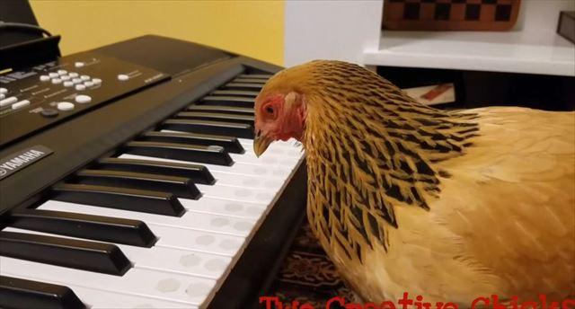 chicken_02_640