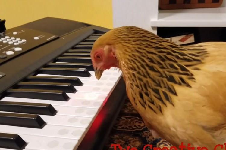 音楽の天才、現る!?鍵盤が光るキーボードを上手に演奏するニワトリが凄い!