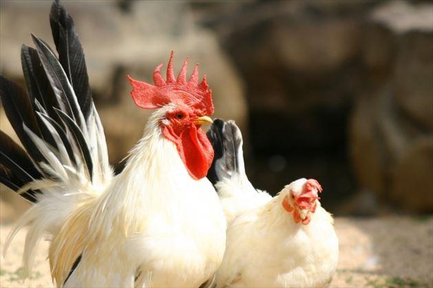 free_chicken_630