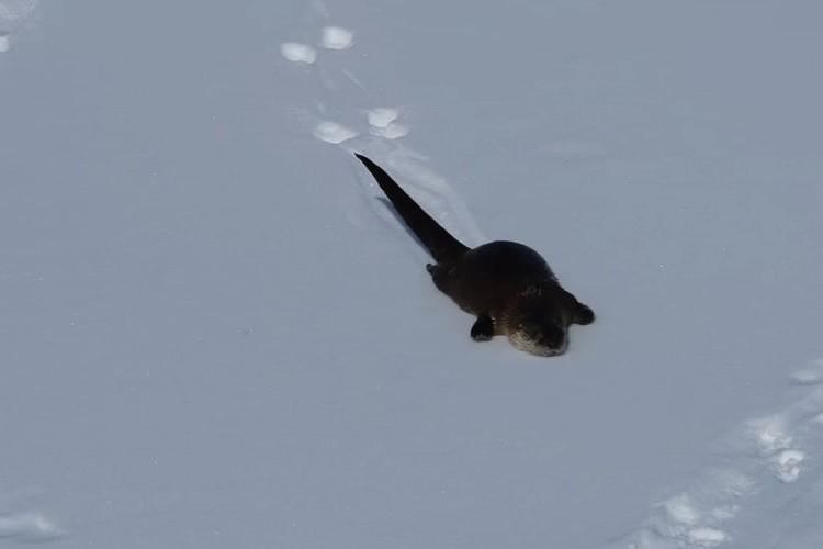 無限ループして観たい!雪と戯れるカワウソが無邪気すぎて超可愛い!