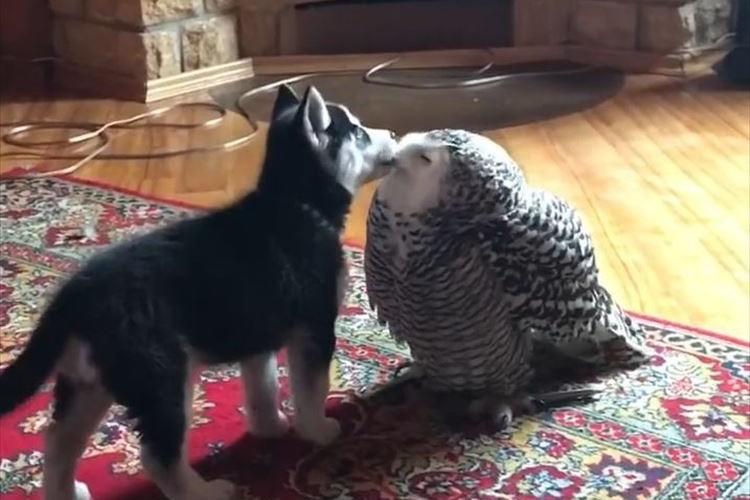 なんたる可愛さ…シベリアン・ハスキーの子犬とフクロウがラブラブなキス♪ そして最後は…