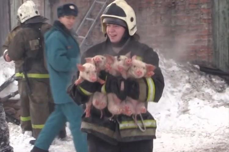 ロシアのとある農場で火災…消防士たちが懸命な消火活動で150匹の子豚を救出!