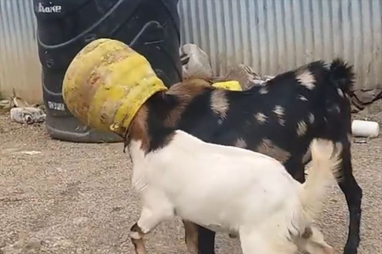 一体何ごと!? ひとつの壺に頭をつっこんでいる2匹のヤギ…そこへ救世主現る!