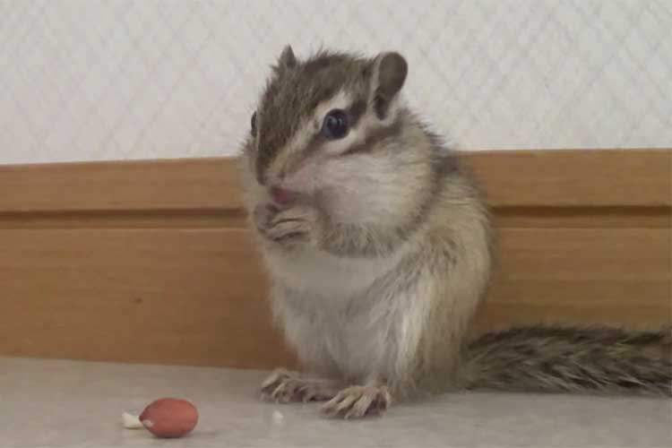「お~い、そこにあるよ!」目の前に落としたナッツに気づかず…慌てまくるリスがかわいい♪
