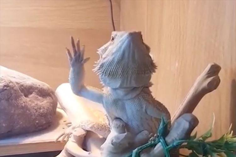 飼い主が手を振ったら…トカゲが前足を振り返してくれた! ?しかも何だこの動きは?