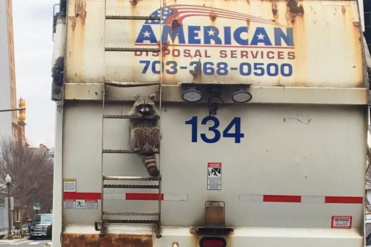 ゴミをあさってたら発車しちゃったってこと!? ゴミ収集車に乗るアライグマが話題に!