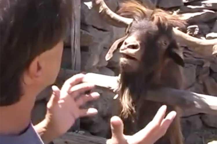 いったい何の議論だよ!? どんどんヒートアップするヤギと男性の掛け合いが漫才にしか見えない