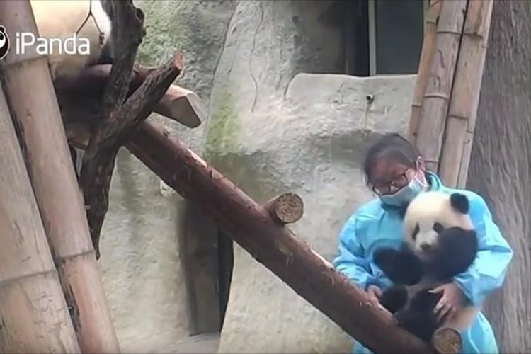 【動画】甘えっぷりがたまらない子パンダ…飼育員とはなれたくないモード全開!