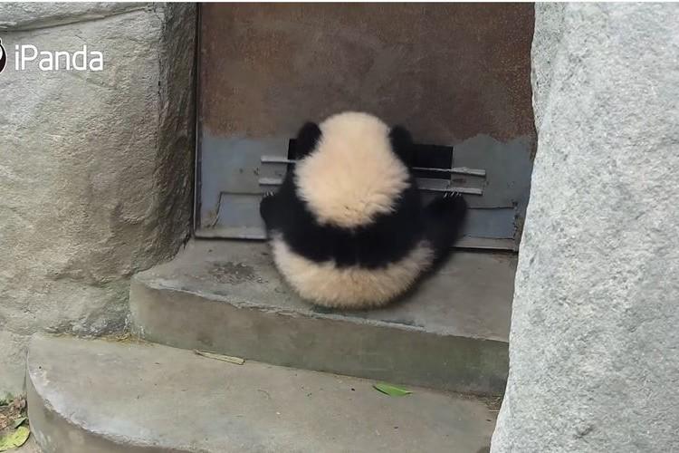 「もっと遊びたいよ~!」扉にぶら下がって遊ぶ赤ちゃんパンダが可愛すぎ!
