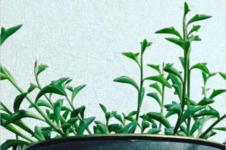 まるでイルカが飛び跳ねているよう!多肉植物「ペレグリヌス」がかわいい