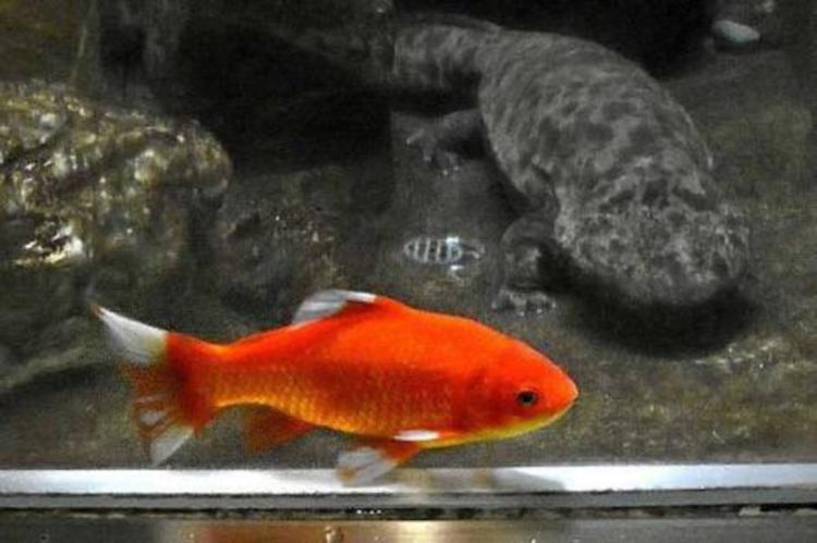 餌として放たれた金魚のカープくん、今ではオオサンショウウオと奇妙な共生生活
