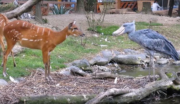 動かない鳥「ハシビロコウ」とウシ科の「シタツンガ」が口元近づけて禁断の ちゅー!