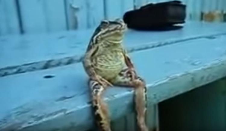 鳥獣戯画に出てきそうなカエルが作り物みたいでやたら姿勢がいい!