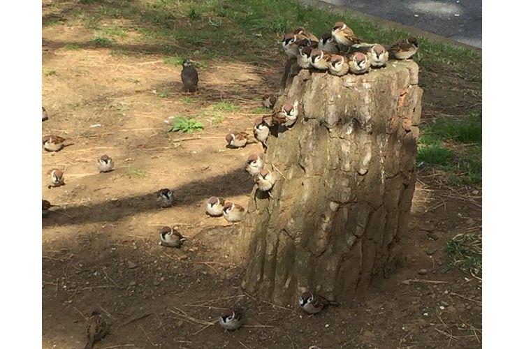 スズメのなる木!?ギュウギュウになって木の上で休憩するスズメが可愛すぎる♡