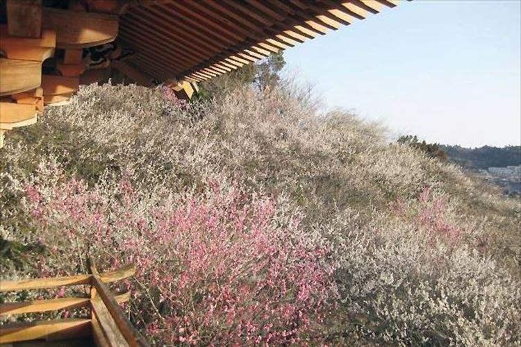 """""""梅のお寺""""として親しまれる福島県・専称寺の「梅」が見頃に! 威厳ある建物と梅のコラボは必見!"""
