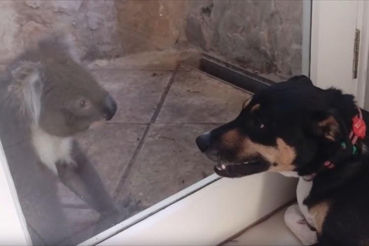 ガラス越しに見つめ合うコアラとワンコ…直後にワンコが満面の笑みを浮かべ、幸せオーラ全開!