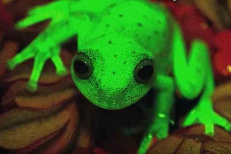 """【世界初】何このカエル!? """"蛍光色に変化するカエル""""がアルゼンチンで発見されて話題に!"""