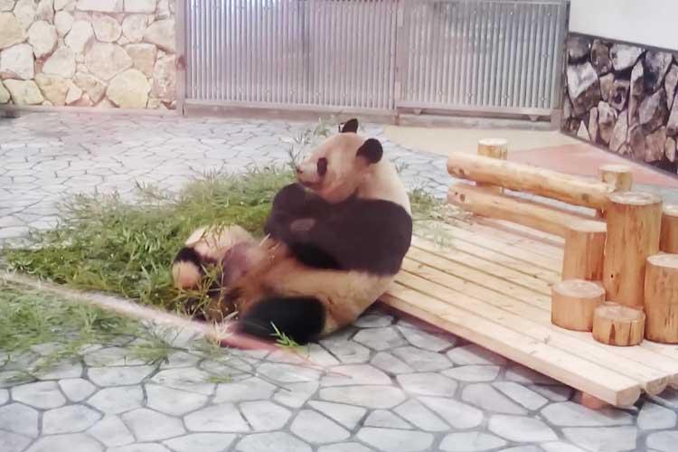 【動画】おむすびころりん♪子パンダが思わぬワザを披露して観客が大歓喜!!