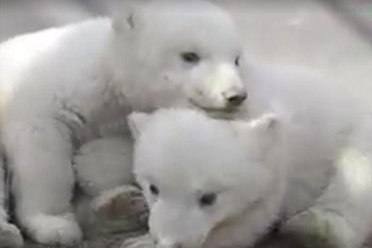 もふもふでコロコロ転がるシロクマの双子の赤ちゃん♪ 仲良く遊ぶ姿と優しい母の眼差し