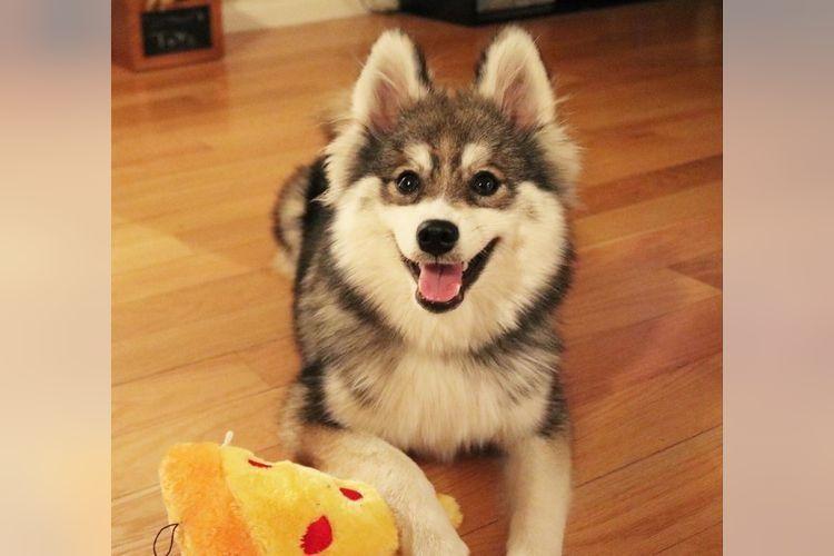 これは胸キュンしちゃう!ポメラニアンとハスキーのミックス犬「ポンスキー」が可愛すぎ