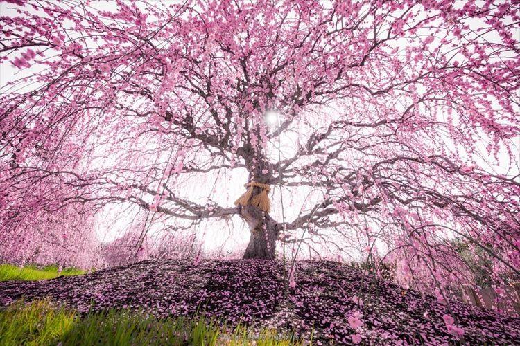 「本日最高潮、圧倒的な美です」鈴鹿の森庭園で撮影された『しだれ梅』が息をのむほど美しい