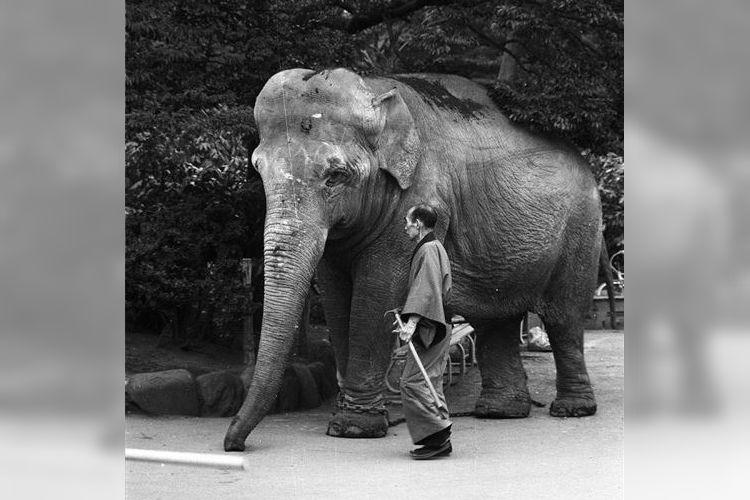 目頭が熱くなる…50年前に上野動物園で脱走した象のインディラとベテラン飼育員との絆が話題に