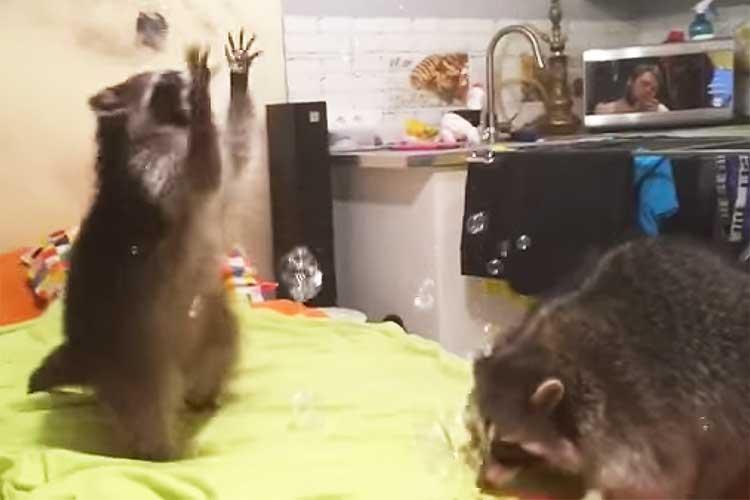 シャボン玉のシャワーに夢中♪のアライグマ…泡を取ったり食べたり、クシャミしたりと大忙し
