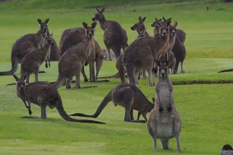 「お~いっ! そこゴルフ場ですよ!」 カンガルーが住みついちゃったゴルフ場…キャディになってみたり