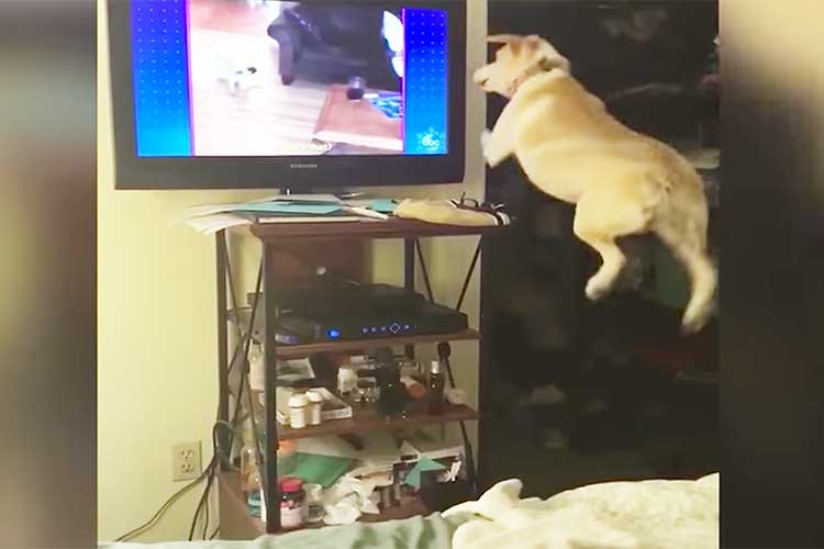 スゴイ跳躍力!! テレビの世界に入ろうとし、大ジャンプを繰り返すワンコが可愛いと話題に!
