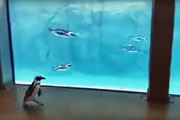 水槽の内と外で最初は戸惑うも…やがてペンギンの運動会に!? 走って、泳いで、よ〜いドン!