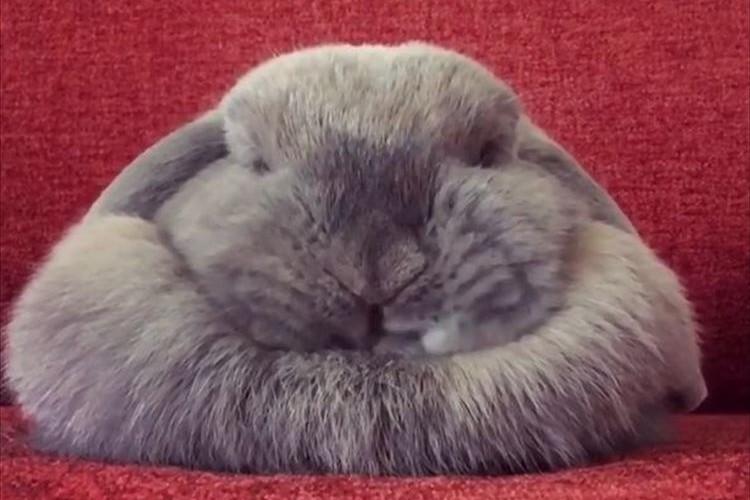眠る姿がまるで鏡餅のようだ…体も表情もユニークなモフモフのウサギが話題に!