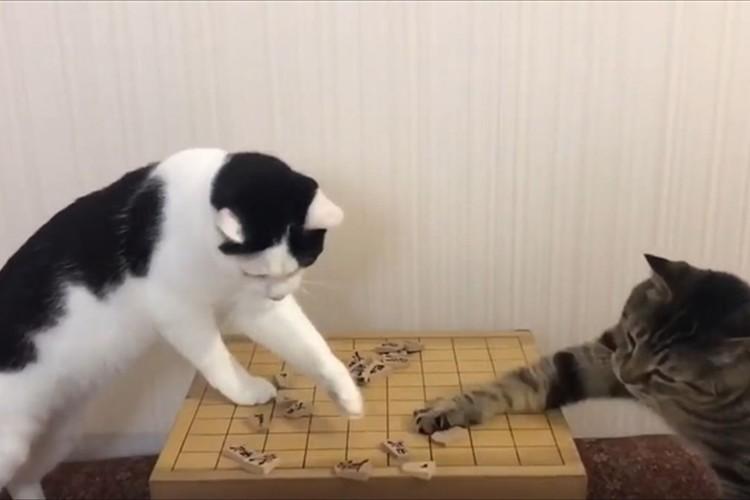 駒を取れば餌がもらえる!? 駒を取り合い、飼い主をひたすら見つめるニャンコが可愛い♪