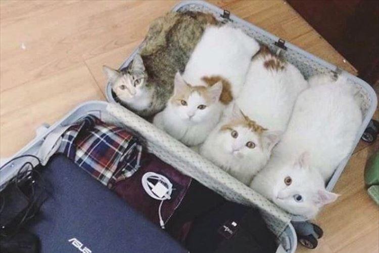 「私たちも連れてってニャ」旅の準備をしていたら飼い主について行く気!?な4匹のニャンコ