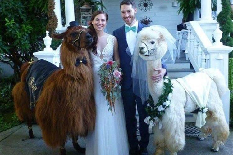 新郎新婦よりも目立ってる!? ラマ&アルパカが出席する結婚式…シュールな光景だけど幸せ感が倍増!