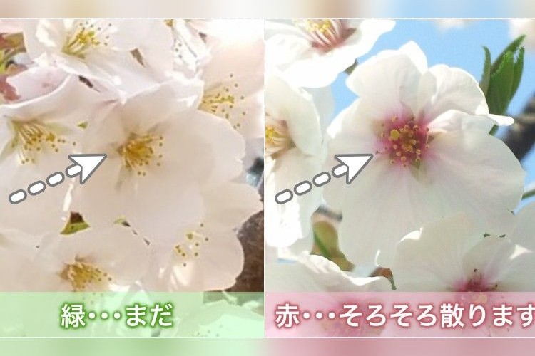桜の花散りサインがあるのを知ってた?お花見がさらに楽しくなる豆知識が話題に