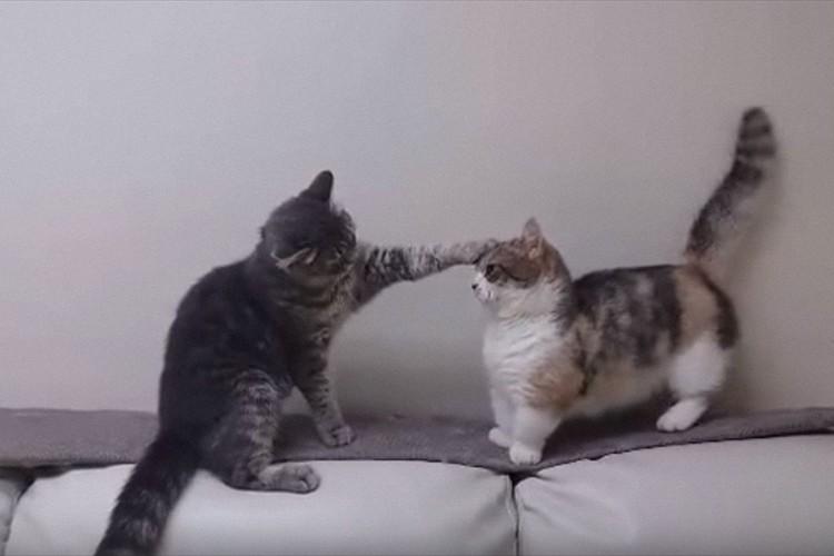 【動画】まるで新喜劇!前足が短くて猫パンチが届かないマンチカンが可愛すぎる