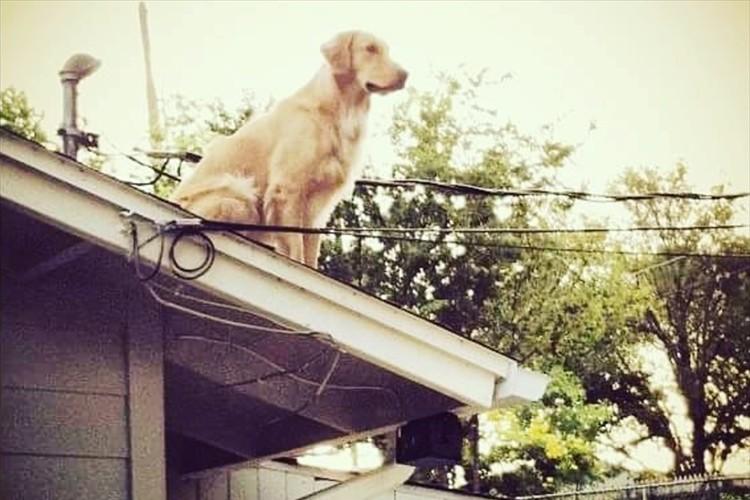 屋根の上に犬が!安心してください。彼の名は「ハックルベリー」