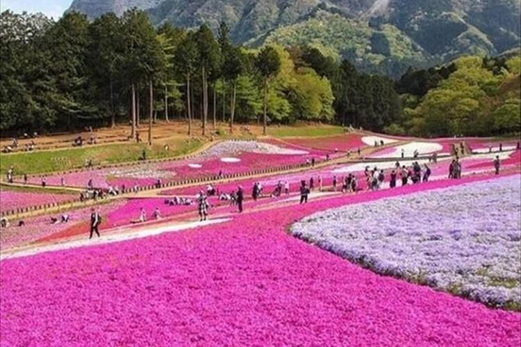 まるでお花のじゅうたんを敷いているみたい!GW限定で見られる羊山公園の芝桜が美しい