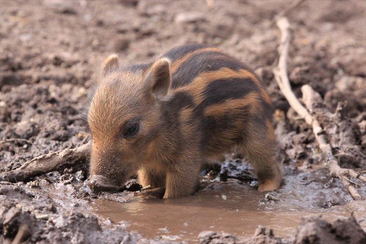 """泥のプールで遊んでいる""""イノシシの赤ちゃん""""がとっても可愛らしいと話題に!!"""