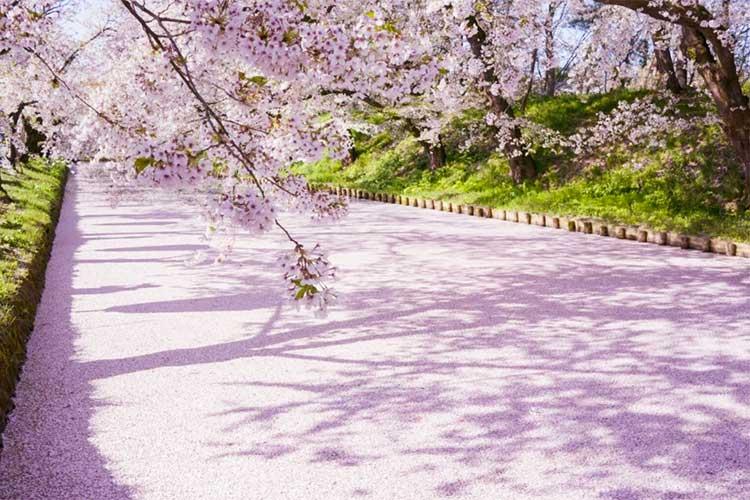 お壕が桜の花びらで埋め尽くされる絶景!弘前城の「桜の絨毯」は今年も最高