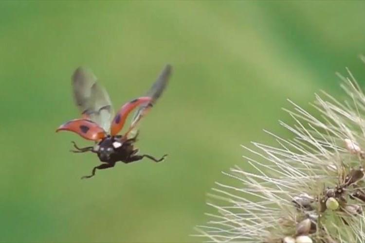 まるでスカイダイビングを楽しむ人!?羽を広げて飛び立つテントウムシが可愛すぎだと話題に