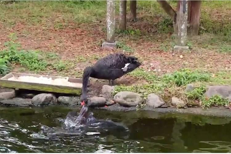 鳥が鯉を餌付け?鯉に餌を与えているように見えるコクチョウが目撃される!