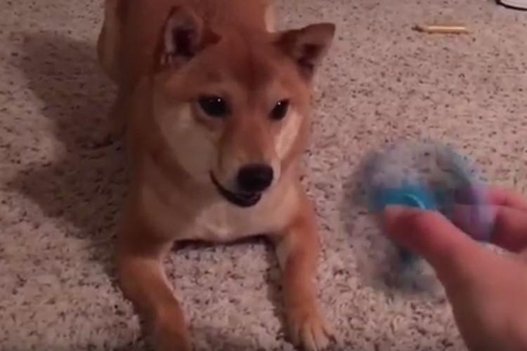因縁の対決!最近流行りのハンドスピナーVS犬の動画6選