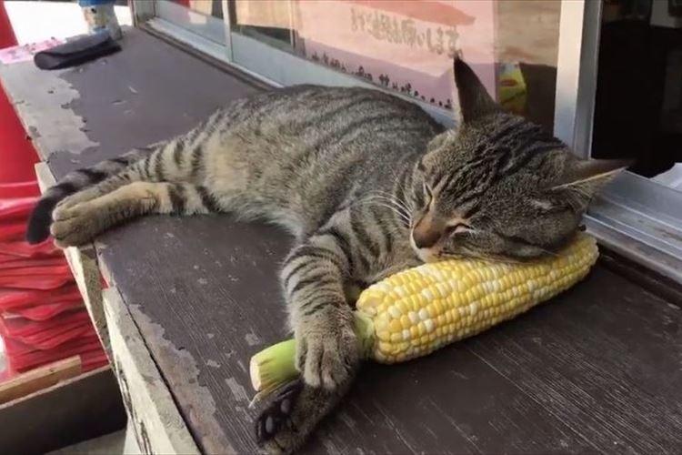 ひんやりしてて気持ちいいのか!トウモロコシを枕にして寝るニャンコが可愛すぎ!