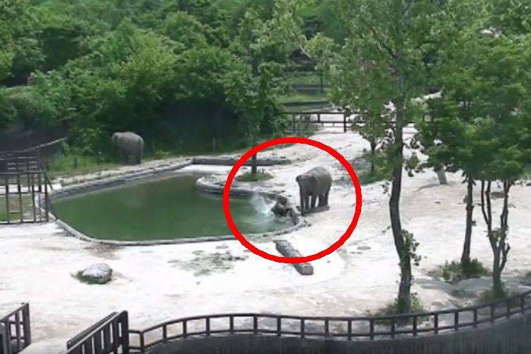 ゾウの赤ちゃんがプールに落ちちゃった!力を合わせて救出する2頭の驚異的なチームワークに感動