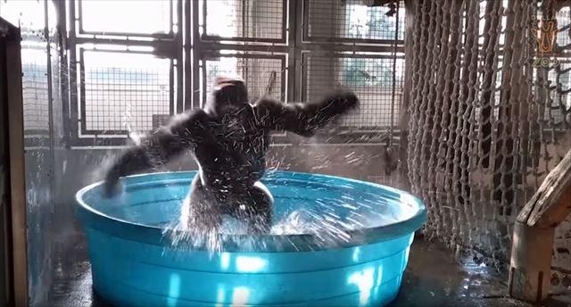 gorilla_01_640