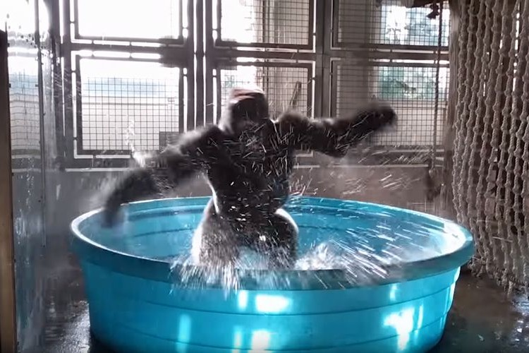 「チョー気持ちいいー!!」プールの中で喜びを爆発させて踊り狂うゴリラが話題に