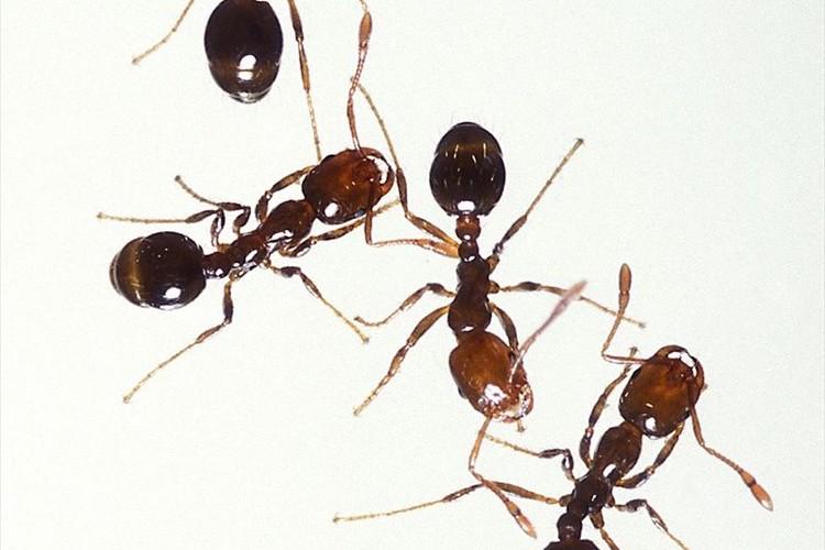 毒針で何度も刺す「ヒアリ」が国内初発見…既に駆除されて女王アリや卵は未確認も「油断は禁物」等の声